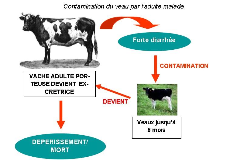 Paratuberculose mode de contamination